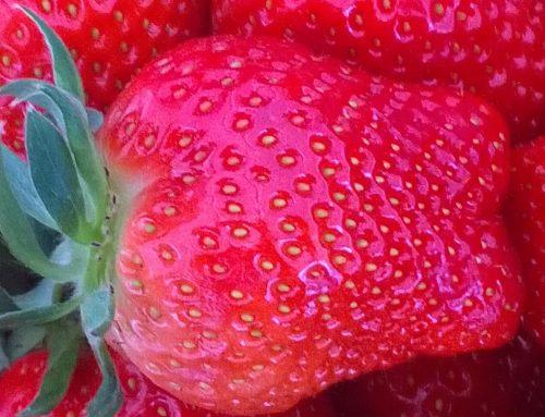Erdbeeren am Bodensee – frische Früchte aus der Region